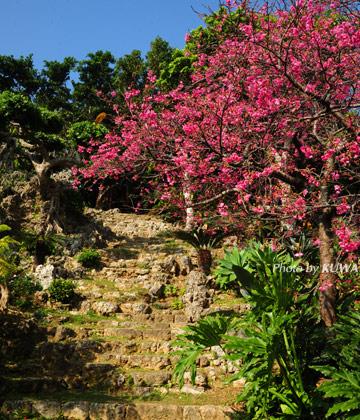 ミントングスクの桜
